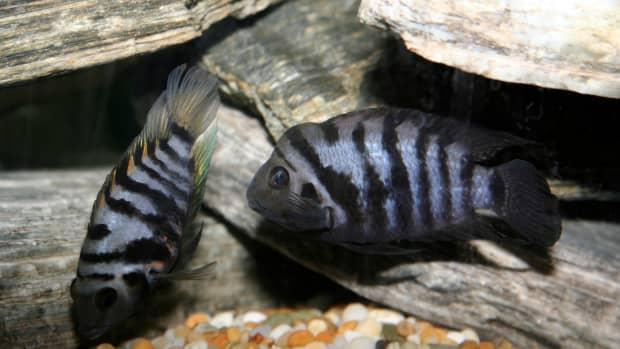 convict-cichlid-breeding-setup