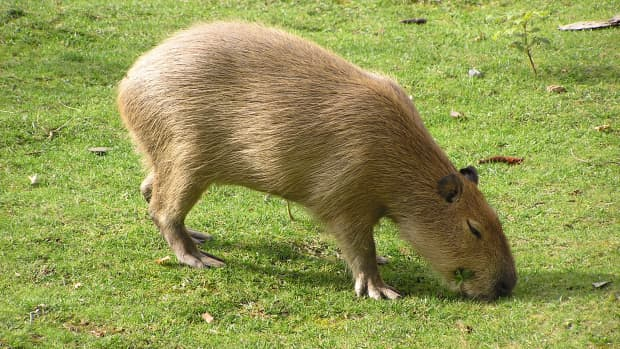 capybaras-giant-rodents-of-south-america