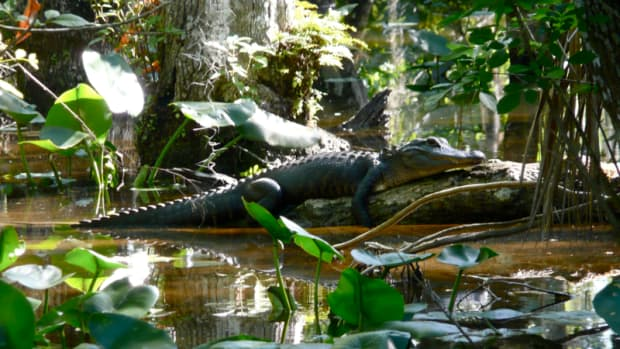 types-of-alligators