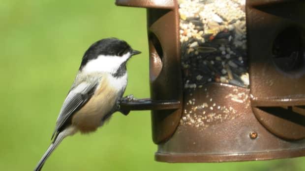 songbirds-of-the-northeast