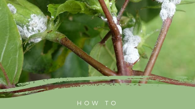 white-lint-on-house-plant-you-may-have-mealy-bug