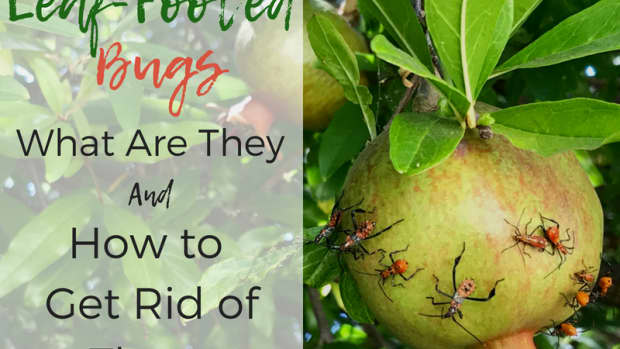 what-are-leaf-footed-bugs-and-are-they-harmful