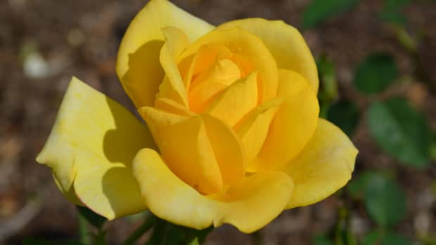 yellow-roses-a-photo-gallery