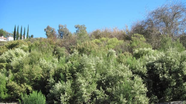 coyote-brush-blessing-or-curse