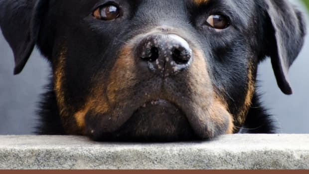 are-rottweilers-dangerous-or-do-they-make-good-pets