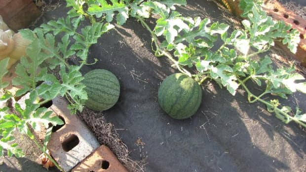 growing-seedless-watermelon-5-steps-to-success