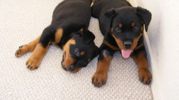 Rottweilers are black listed by most home owner insurance policies