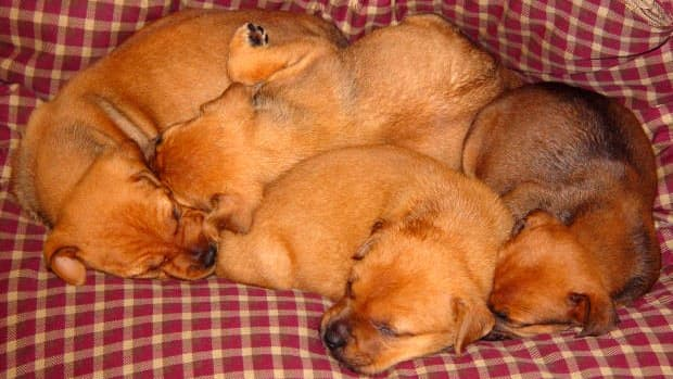 why-mother-dogs-may-kill-their-puppies