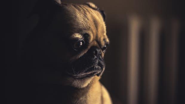 dog-health-advice-faqs-about-canine-inflammatory-bowel-disease