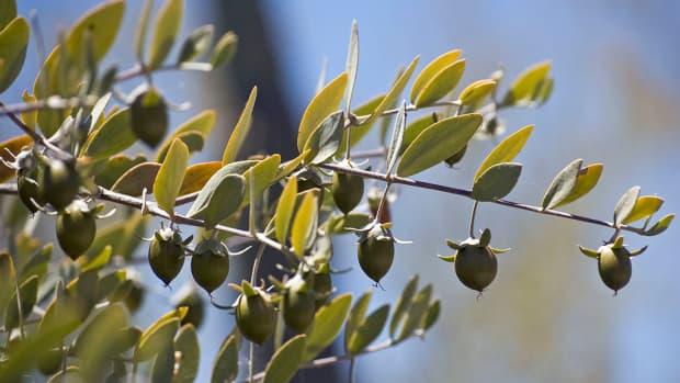 what-are-ten-uses-for-jojoba-oil