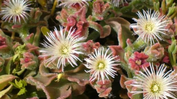 ice-plant-or-barilla-is-a-pretty-and-useful-plant-found-on-tenerife