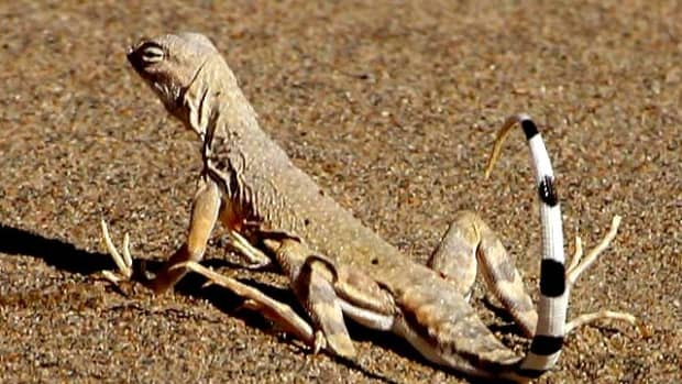 zebra-tailed-lizard-care-sheet-and-more