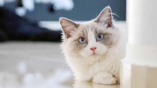 ragdoll-cats-and-kittens-a-photo-gallery-and-information