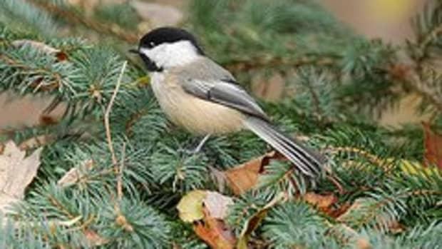 the-perfect-bird-friendly-evergreen-plants