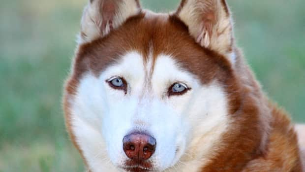 facts-about-the-siberian-husky-an-excellent-dog-breed-for-anyone