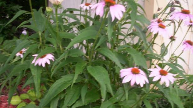 growing-coneflowers-enchinacea