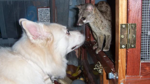 understanding-domestication-the-ethics-of-wild-animals-as-pets-and-in-zoos