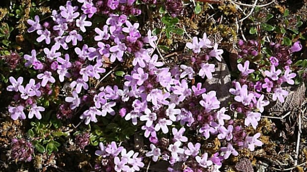 thyme-and-thymol-herbal-health-benefits