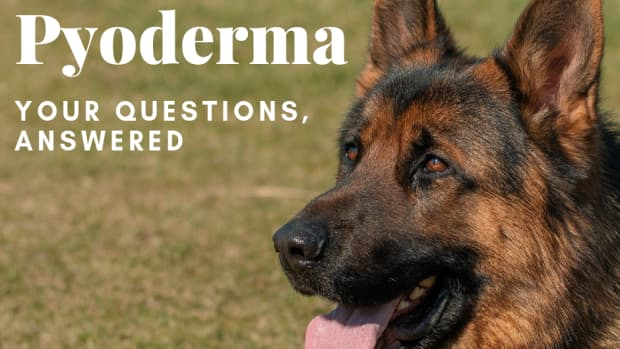 canine-pyoderma