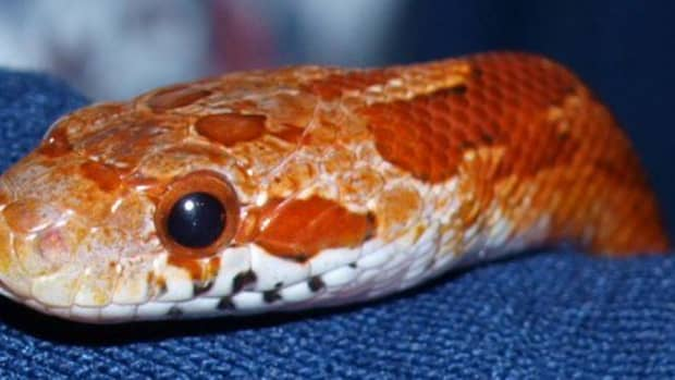 keeping-a-corn-snake-as-a-pet