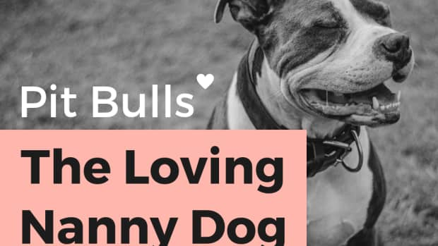 the-pit-bull-dog-once-knows-as-the-nanny-dog-what-happened