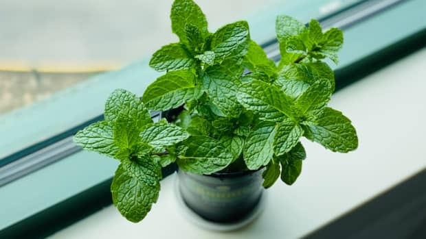 how-to-grow-mint-like-an-expert