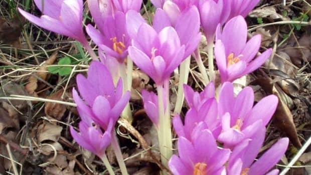 how-to-grow-autumn-crocus-meadow-saffron-for-fall-color