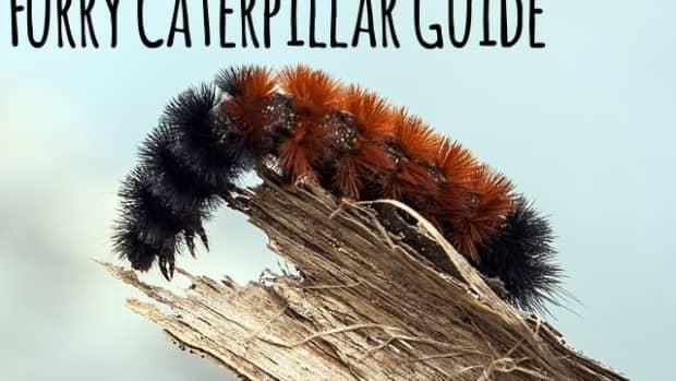 furry-caterpillar