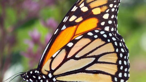 butterfly-identification