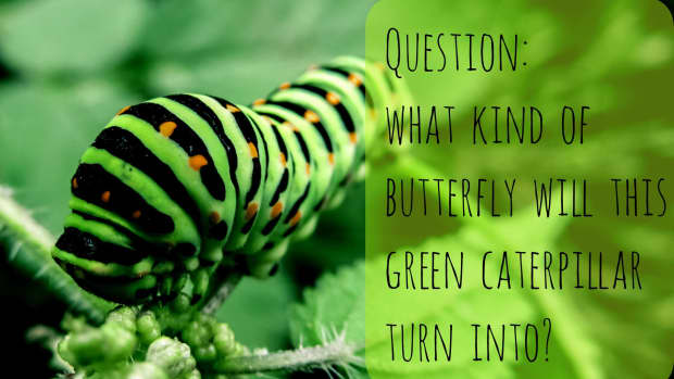 green-caterpillar-identification