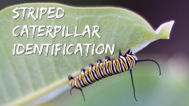 striped-caterpillar-identification-and-guide