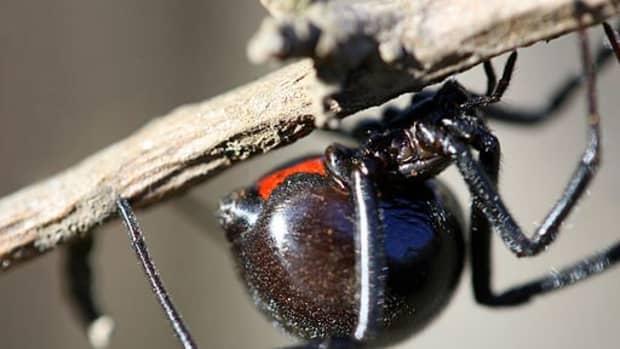 black-widow-identification