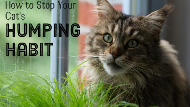 how-to-get-a-fixed-male-cat-to-stop-humping-humans