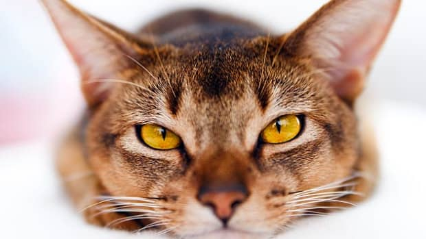 why-do-cats-purr-so-much-anyhow