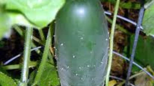 cucumbertipsplantingvarietiesharvesting