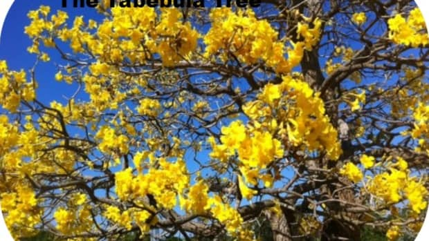 dr-edwin-a-menninger-the-flowering-tree-man-who-gave-us-the-tabebuia-tree