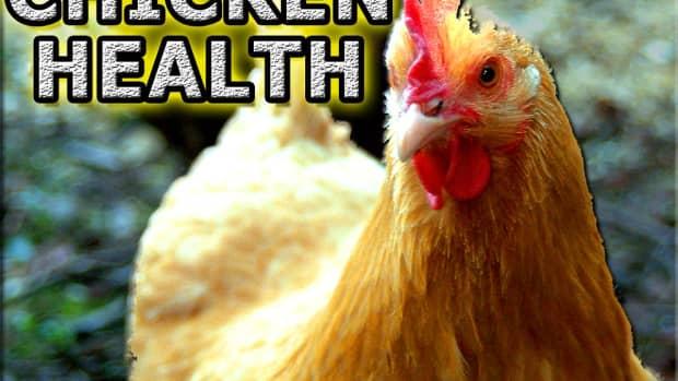 chicken-health-problems