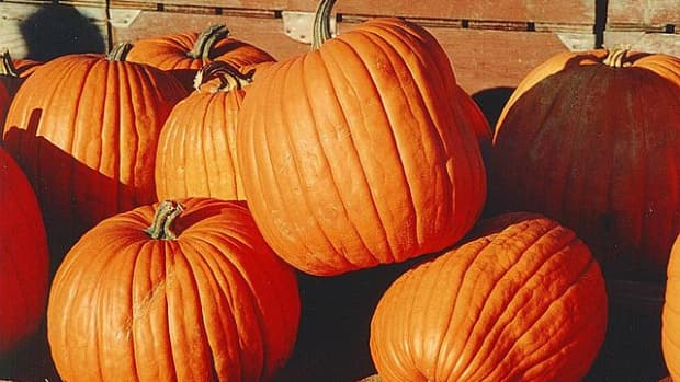hills-vs-rows-how-to-raise-pumpkins-and-gourds
