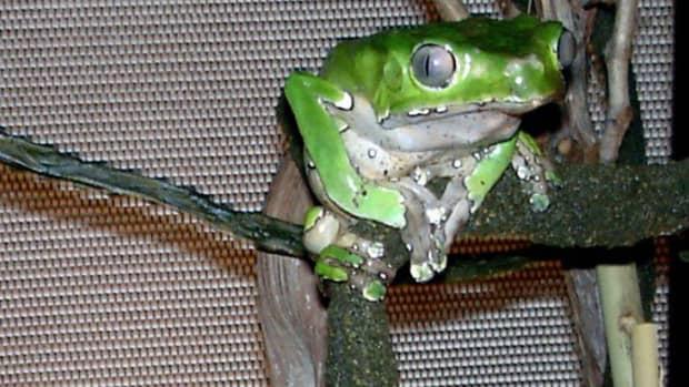 how-to-keep-the-giant-waxy-monkey-frog-phyllomedusa-bicolor