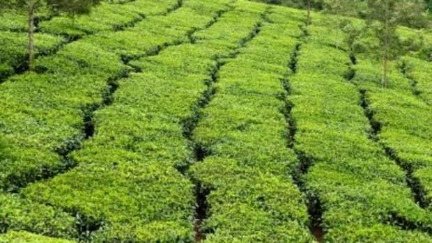fluoride-content-in-black-tea-white-tea-and-green-tea-tea-health-benefits-and-dangers