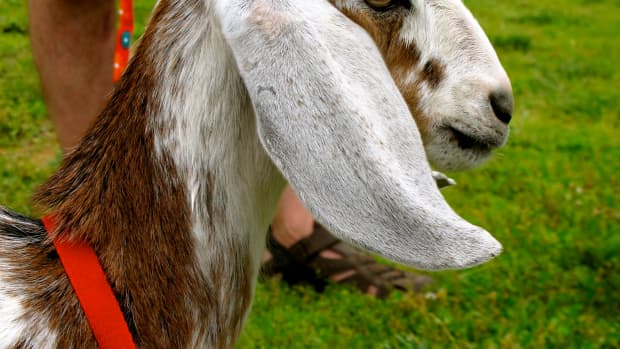 how-to-care-for-goats