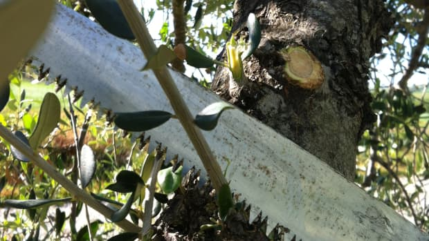 how-to-prune-olive-trees