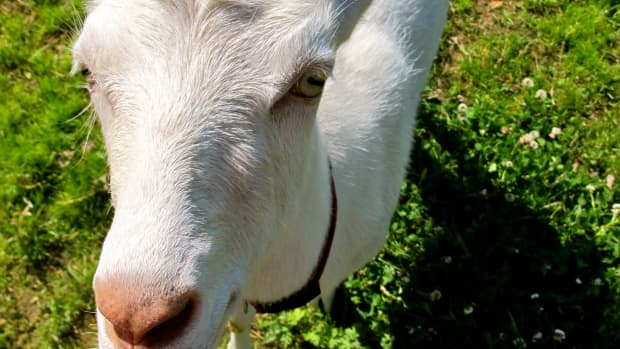 how-to-choose-a-goat-breed