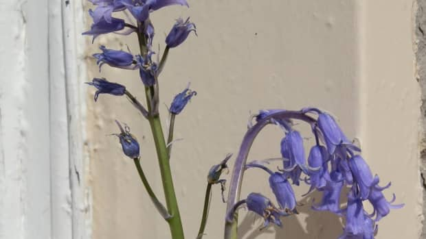the-difference-between-spanish-and-english-bluebells