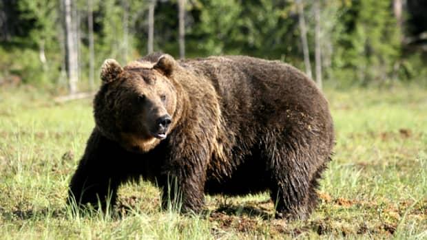 the-eurasian-brown-bear