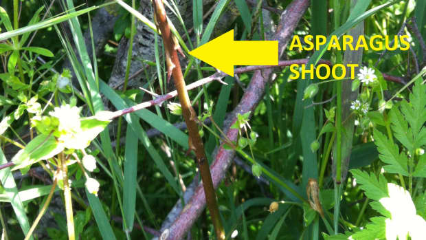 how-to-plant-wild-asparagus