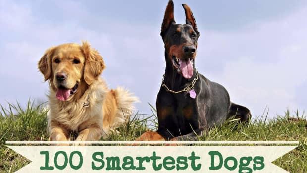100-smartest-dog-breeds