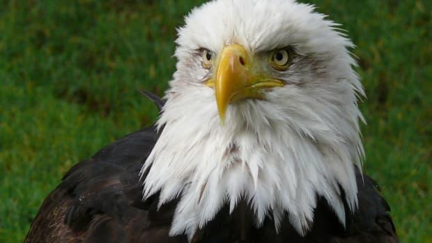 birds-of-prey-the-bald-eagle
