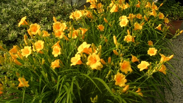 should-you-eat-your-daylilies