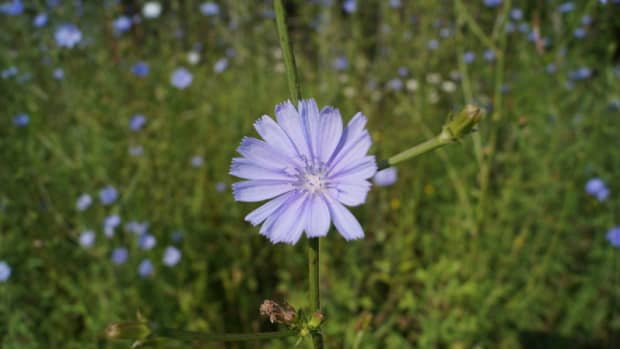 five-useful-weeds-beautiful-and-edible
